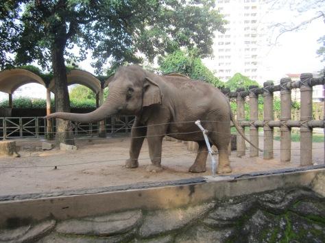 Des éléphants musclés