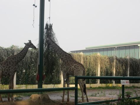 Des grandes girafes