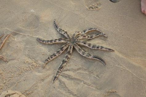 Nous avons vu une grosse étoile de mer!
