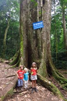 Devant l'arbre millénaire
