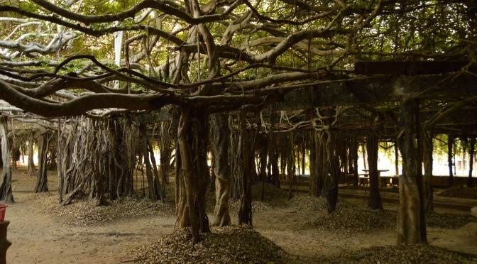 L'arbre banian de Phimai