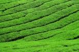 ... dessinés par les plantations de thé