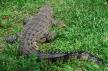 Un crocodile, dans un enclos heureusement!