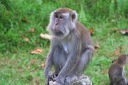 Un macaque facétieux