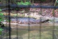 A Matang, un faux-gavial