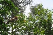 Un singe nasique bondissant