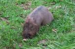 Un cochon barbu sauvage