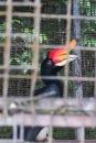 L'oiseau emblématique de Bornéo