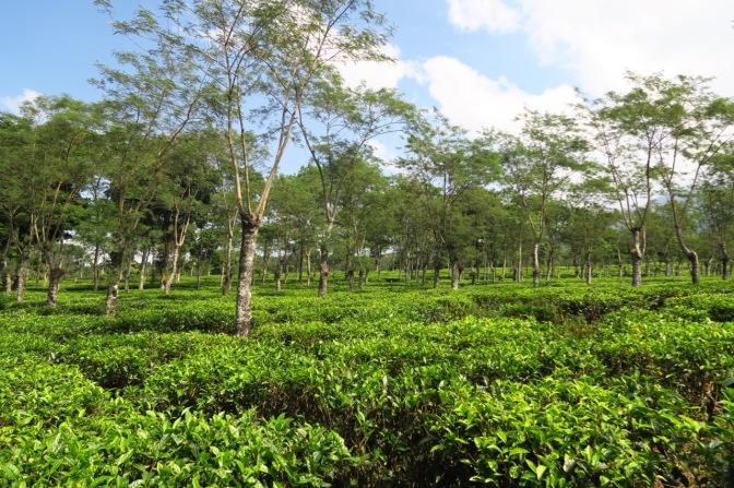 Au milieu des plantations de thés