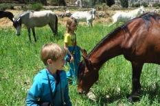Les chevaux péruviens (race Paso)