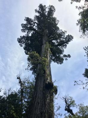 Un arbre vieux de 3500 ans