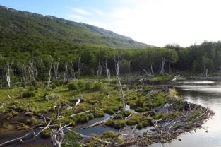 Le barrage de castor