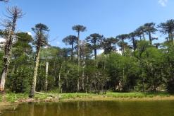 Une forêt d'auraucarias