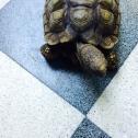 Arturo, la tortue de la maison