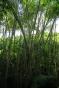 Des bambous natifs