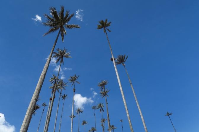Entre palmiers et caféiers