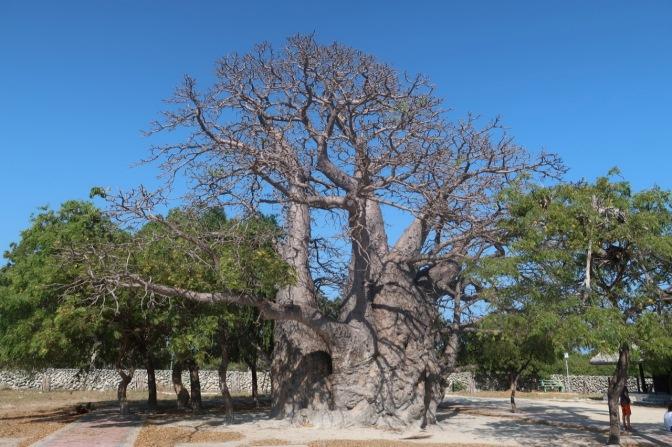 Le baobab de Delft